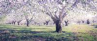 Blossoms in Apple orchard