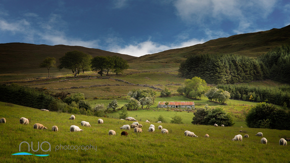 Sheep Grazing in the Mournes