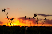 Buttercups at sunset